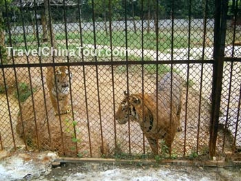 xiongsen bear tiger zoo