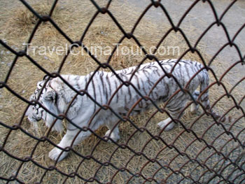 White siberian tiger picture